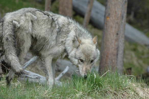 Yellowstone wolf photo ©Jim Robertson. All Rights Reserved