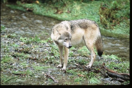 Wolf Photo Copyright Jim Robertson