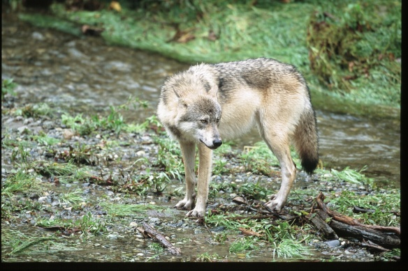 Wolf Photo Copyright Jim Robertson