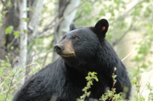 Black Bear photo Copyright Jim Robertson