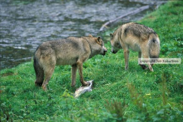 copyrighted-wolf-argument-settled
