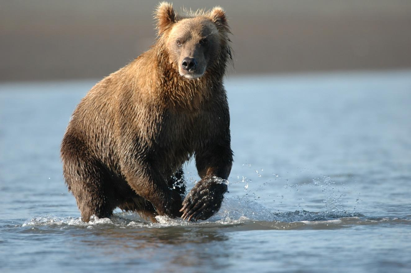 Image result for giant grizzly bear
