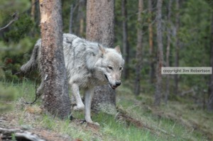 copyrighted Hayden wolf in lodgepoles