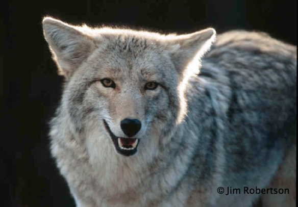 Coyote photo Copyright Jim Robertson