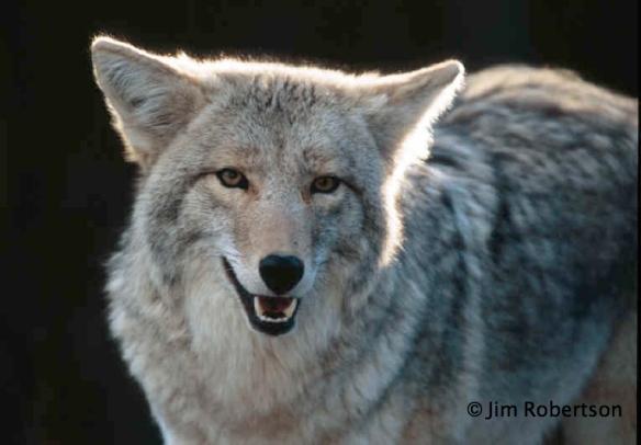 Jim Robertson-wolf-copyright