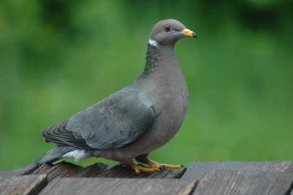 Band-tailed pigeon photo©Jim Robertson