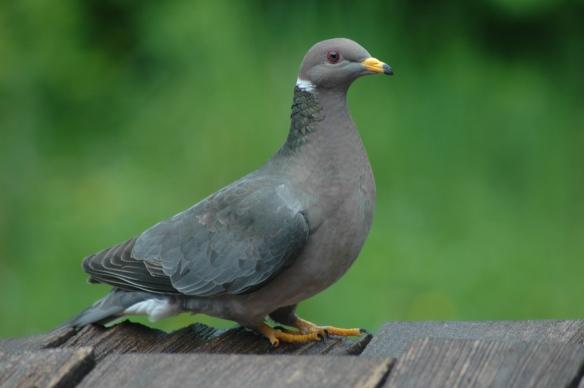 Band-tailed pigeon photo©Jim Robertson