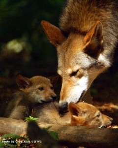 Red-wolf-and-pups-240x300