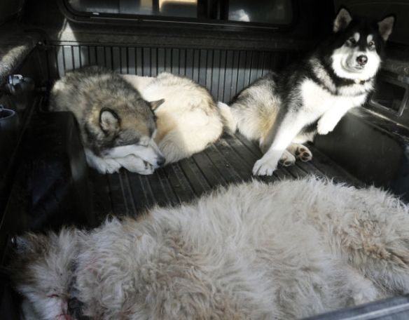 Layne Spence's Malamutes Rex and Frank sit waiting and watching over Little Dave, front, who was killed by a hunter with an assault rifle