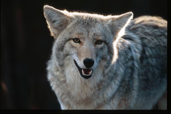 Coyote Photo Copyright Jim Robertson