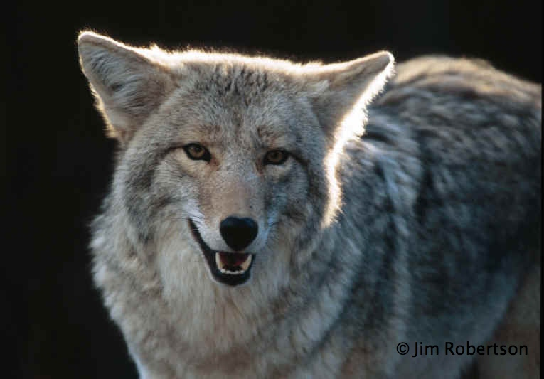 Image result for Holley NY coyote-kill contest