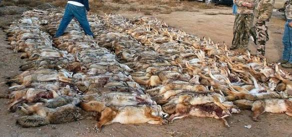 coyote contest kill