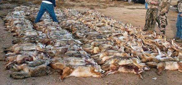 coyote contest kill
