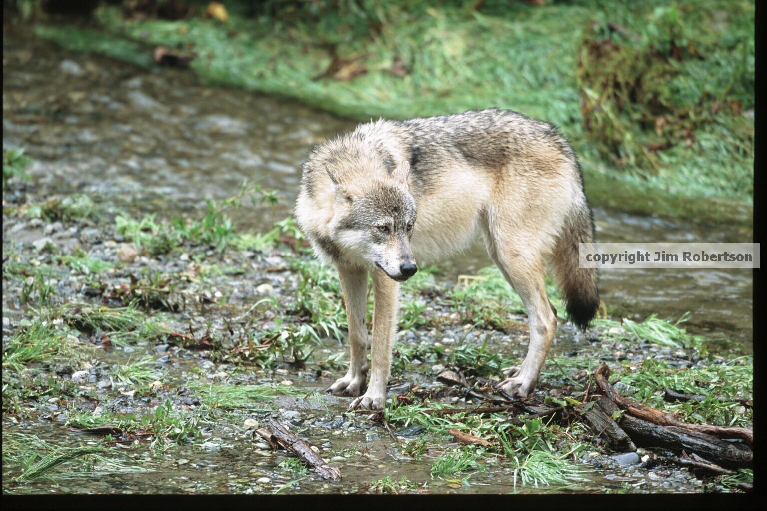 Arizona House OK's bill targeting wolf recovery program
