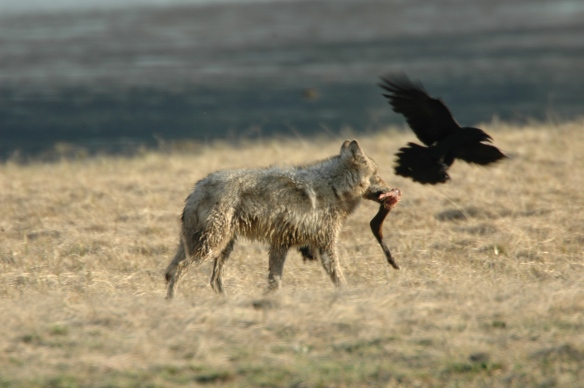 Wildlife Photography Copyright Jim Robertson