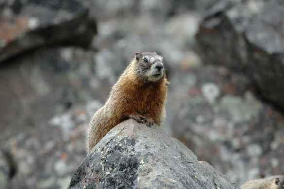 Marmot Photos Copyright Jim Robertson