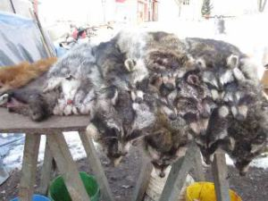 trapping coons