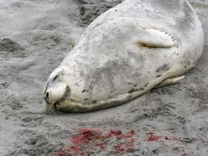 A mother harbor seal, who had recently given birth, was found dead on the beach north of the Ocean Park beach approach last week, thought to have been a victim of an intentional vehicular killing.  Photo by SUZY WHITTEY / Chinook Observer