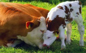cow-and-calf-love_w520