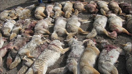 canada goose jacket fur controversy