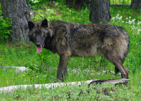 Mt_Emily_male_wolf_brown_odfw