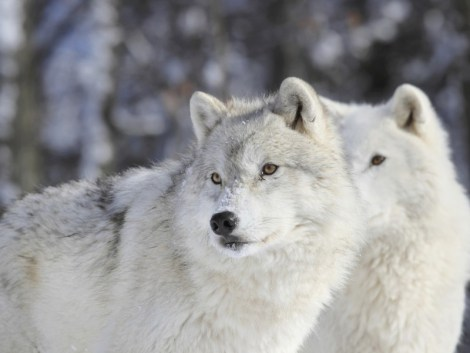 Wolves in lamar valley_ Earth Justice