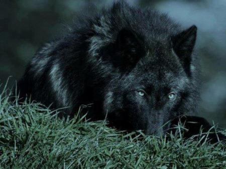 black wolf nexus wallpaper