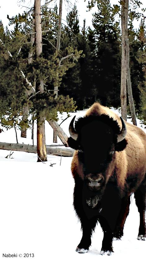 Yellowstone Bison_2013