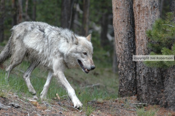 copyrighted Hayden wolf walking