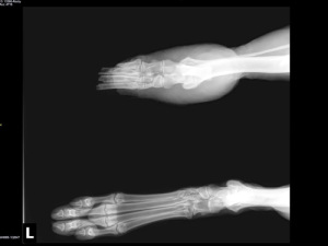 X-ray from Coastal German Shepherd Rescue