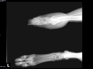 X-ray from Coastal German Shepherd Rescue