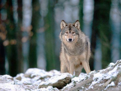 wolf in woods kewl