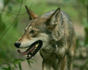 Red Wolf_54cbab74964f5.preview-300