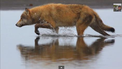 Coastal wolf_White Wolf Pack Courtesy Brad Joseph