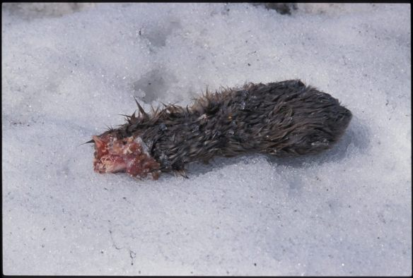 Chewed-off Canadian lynx foot--another trapping victim.  Photo by Jim Robertson