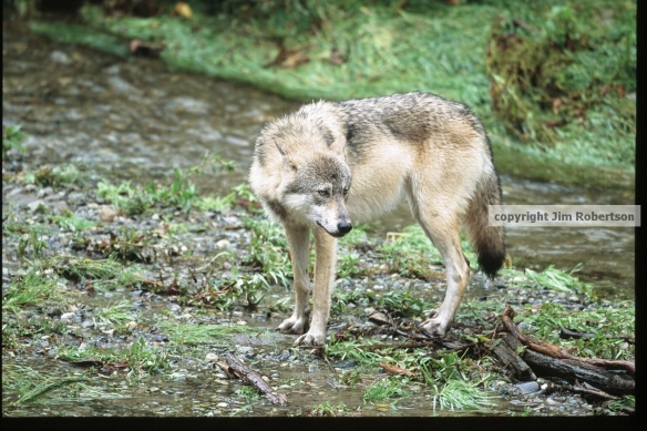 copyrighted wolf in river