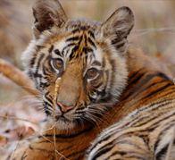 tiger_tween_alert