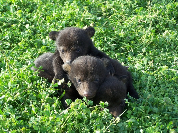 blackbearcubs