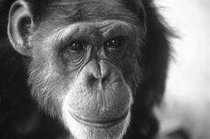 Washoe_chimpanzee