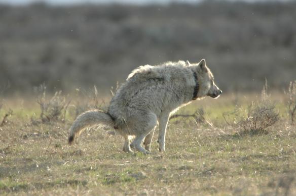 Wolf Photos Copyright Jim Robertson