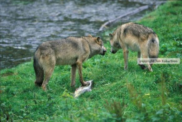 copyrighted wolf argument settled