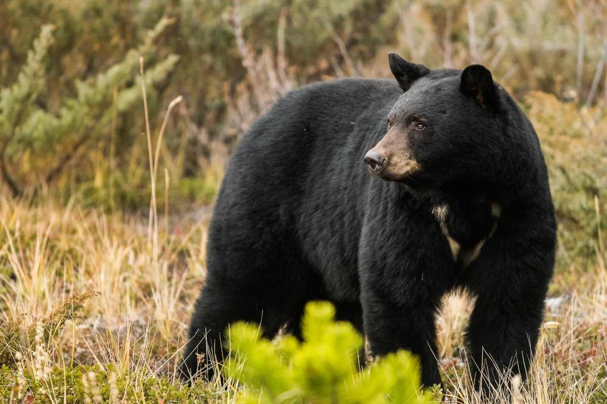 The Ontario government is launching consultations on a proposal to reinstate a spring black bear hunt.